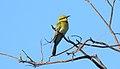 Rainbow Bee-eater (Merops ornatus) (31554941831).jpg