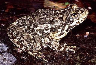 Mountain yellow-legged frog species of amphibian