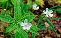 Ranunculus platanifolius kds 02.jpg