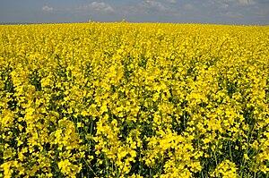 Rapeseed field in Germany