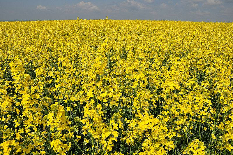 File:Rapeseed field (Brassica napus) in Germany.JPG