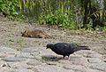 Ratte und Taube.jpg