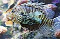 Red-lionfish-Oceanopolis-20060521-003.jpg