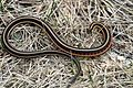 Red-sided Garter Snake - Flickr - GregTheBusker (31).jpg