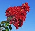 Red Crepe Myrtle -- Lagerstroemia.jpg