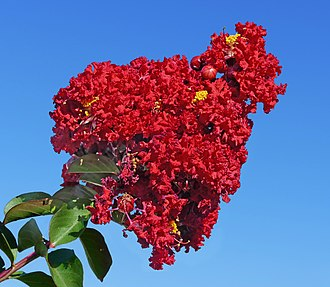 Lagerstroemia - Red crepe myrtle -- Lagerstroemia
