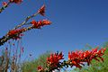 Red Flowers at the Lake Mead Vistor Center (3467678743).jpg