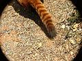 Red Panda Simon Tail 02.jpg