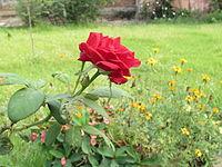 Baccara Rose Wikipedia