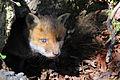 Red fox kit 1 (Vulpes vulpes).jpg