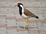Red wattled Lapwing I IMG 0607.jpg