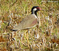 Red wattled lapwing 01.jpg