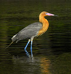 Reddish Egret at Sunset - Flickr - Andrea Westmoreland.jpg