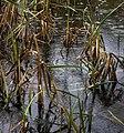 Reeds and Rain - geograph.org.uk - 1580543.jpg
