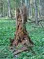 Rezerwat ścisły w Puszczy Białowieskiej 6 (Nemo5576).jpg