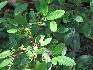 Frangula californica - Frangula californica ssp. californica in flower.