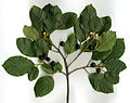 Rhamnus frangula.jpg