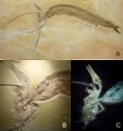 Rhamphorhynchus and Aspidorhynchus.png