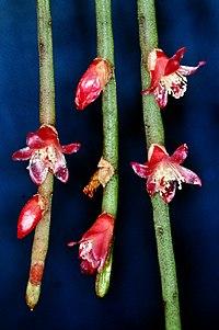 Rhipsalis hoelleri (Cactaceae), flowering clonotype, © W. Barthlott, Univ. Bonn, www.lotus.salvinia.de.jpg