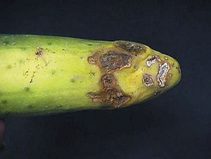 Rhizoctonia - Disease of cucumber caused by Rhizoctonia solani