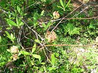 Rhododendron austrinum1