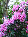 Rhododendron in Delft park 2.jpg