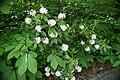 Rhododendron minus 3zz.jpg