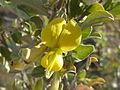 Rhynchosia nitens, blomme, Phalandingwe, b.jpg