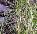 Rhynchospora rariflora.jpg