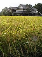Rice field on Japan 20070829.jpg
