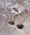 Riparia Riparia-2006-Ejdzej-4.jpg