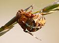 Ristämblik (Araneidae) *.JPG