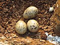 River tern-Nest 10 - Koyna 042011.JPG