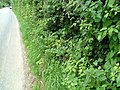 Road and hedgerow - geograph.org.uk - 543317.jpg