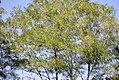Robinia pseudoacacia - Bagrem (4), Niš, Srbija.jpg