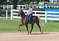 Rocky Mountain Horse (7998163206).jpg