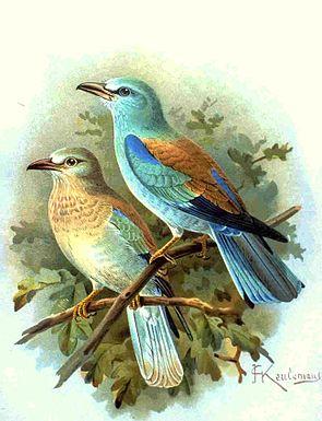 Blauracken (Coracias garrulus), links unten ein blasser gefärbter Jungvogel (Illustration von J. G. Keulemans)