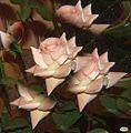 Rosa-rosae3 (4877941811).jpg