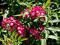 Rosa 'Little Buckaroo' in Nuthurst, West Sussex, England.jpg