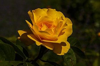 Rosa 'Sunstar'. Locatie, Tuinen Mien Ruys in Dedemsvaart.jpg