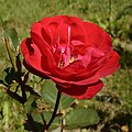 Rosa Irish Wonder.jpg