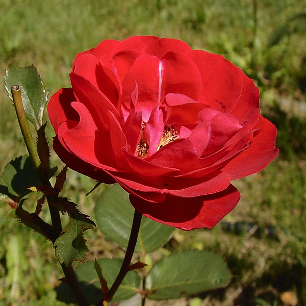 File:Rosa Irish Wonder.jpg