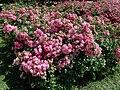 Rosa Palmengarten Frankfurt 2019-07-11 2761.jpg