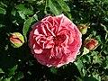 Rosa Princess Alexandra of Kent 2019-06-04 6072.jpg