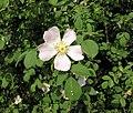 Rosa canina inflorescence (100).jpg