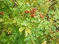 Rosa majalis fruit (06).jpg
