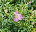 Rosa rubiginosa near Lake Wakatipu.jpg