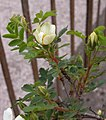 Rosa spinosissima inflorescence (76).jpg