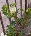 Rosa spinosissima inflorescence (76).jpg