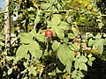 Rosa tomentosa fruit (03).jpg